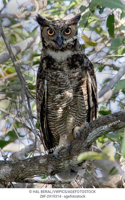 Great Horned Owl (Bubo virginianus) Pantanal, Brazil