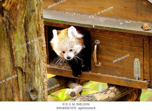 lesser panda, red panda (Ailurus fulgens), cub in autumn, comming out a box