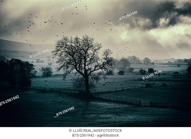 Countryside view, with a tree, sheep and loots of birds in the sky, in a cloudy day in North Yorkshire, England UK