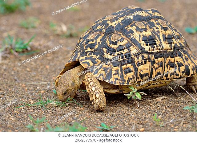 Leopard tortoise (Stigmochelys pardalis), feeding on grass, Kruger National Park, South Africa, Africa