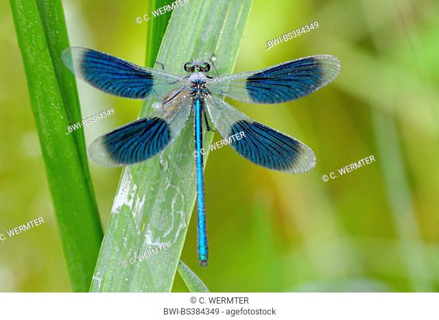 banded blackwings, banded agrion, banded demoiselle (Calopteryx splendens, Agrion splendens), male on a blade of gras, Germany, North Rhine-Westphalia