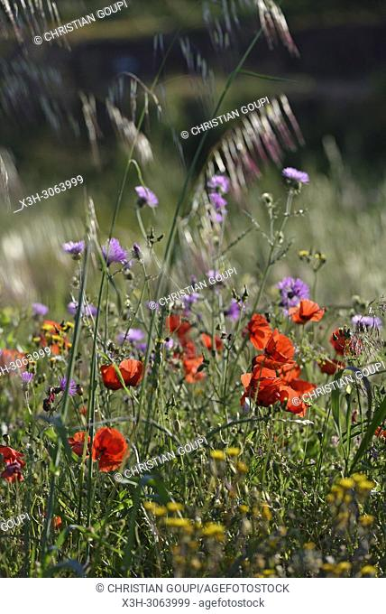 flowering meadow in the gardens of rural hotel Horta da Moura, Monsaraz, Reguengos de Monsaraz, Alentejo region, Portugal, southwertern Europe