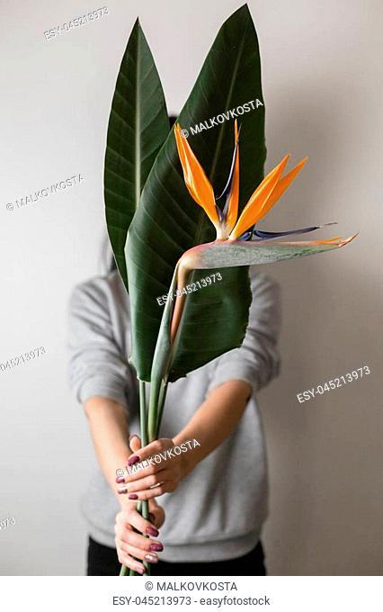 Orange flower of Strelitzia Reginae - bird of paradise, in woman hand. Tropical bud and green leaves