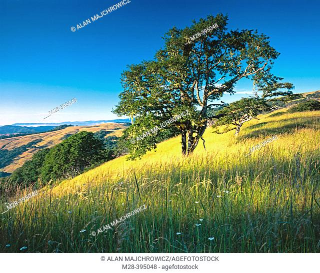 Oregon White oak. Bald Hills Redwood National Park. California. USA