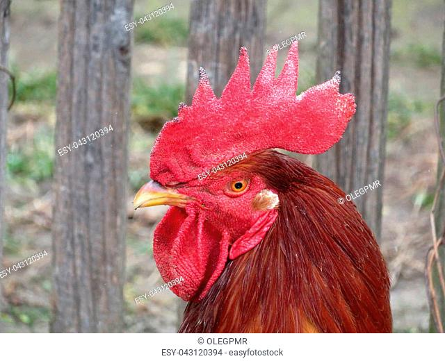 Portrait of a rooster on the farm