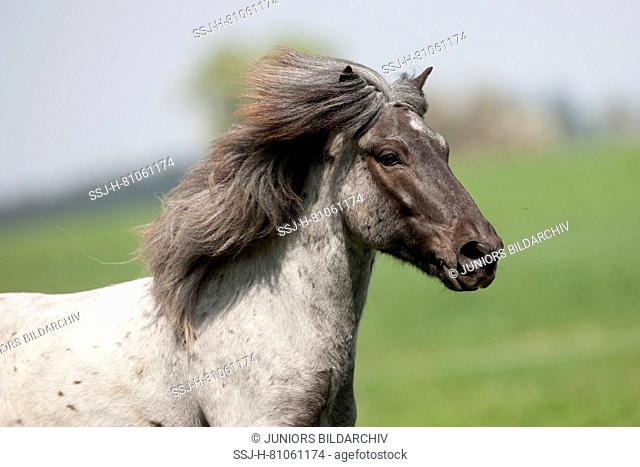 Icelandic Horse. Portrait of blue roan adult. Austia