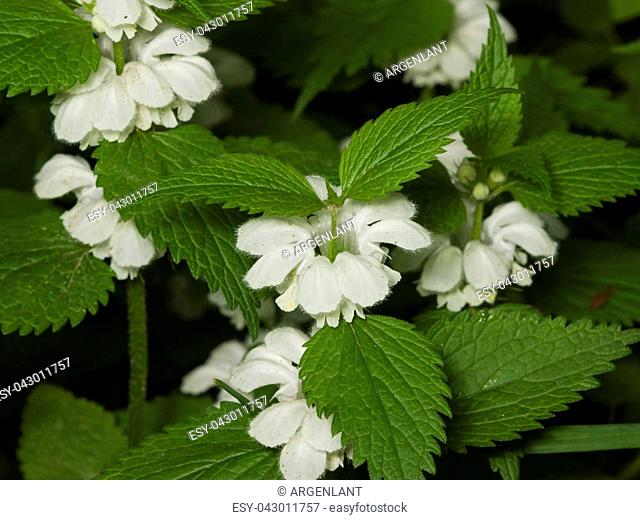 White dead-nettle, Lamium album, weed blooming close-up, selective focus, shallow DOF