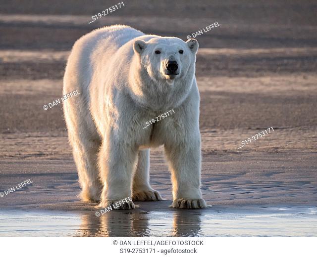 Alaska Arctic Polar Bear