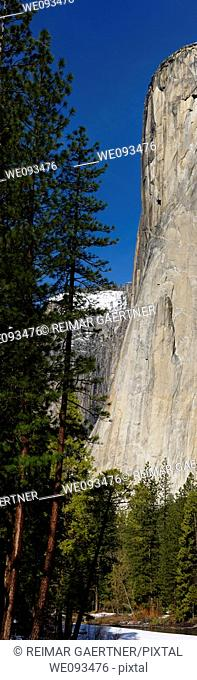 Vertical panorama of tall pines and the face of El Capitan on the Merced River from Yosemite Valley