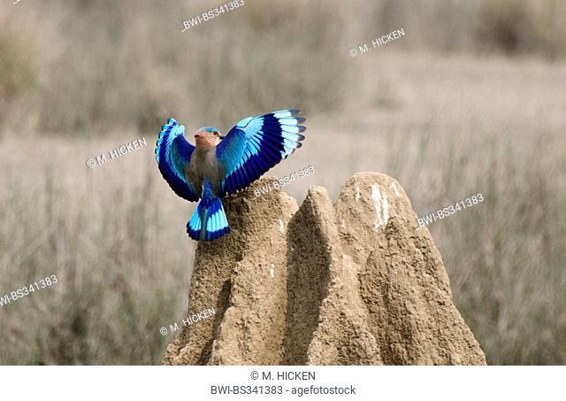 Indian roller (Coracias benghalensis), landing on a termite hill, India, Madhya Pradesh