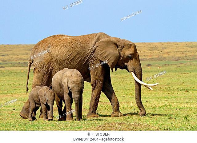 African elephant (Loxodonta africana), with two elephant calves, Kenya, Masai Mara National Park