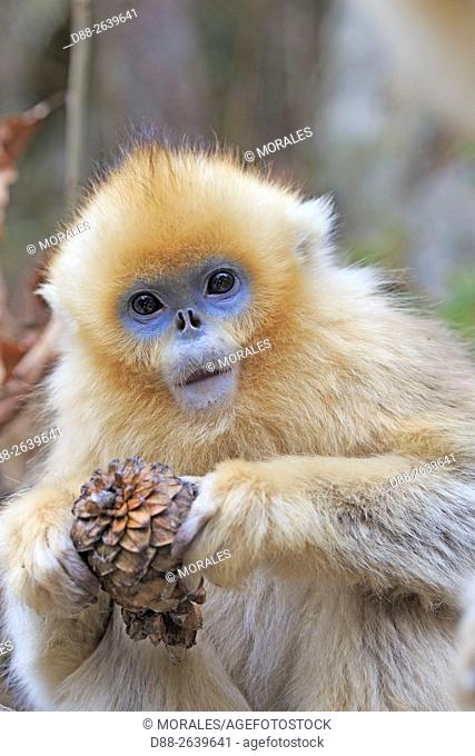 Asia, China, Shaanxi province, Qinling Mountains, Golden Snub-nosed Monkey (Rhinopithecus roxellana), young eat seeds from a pine cone