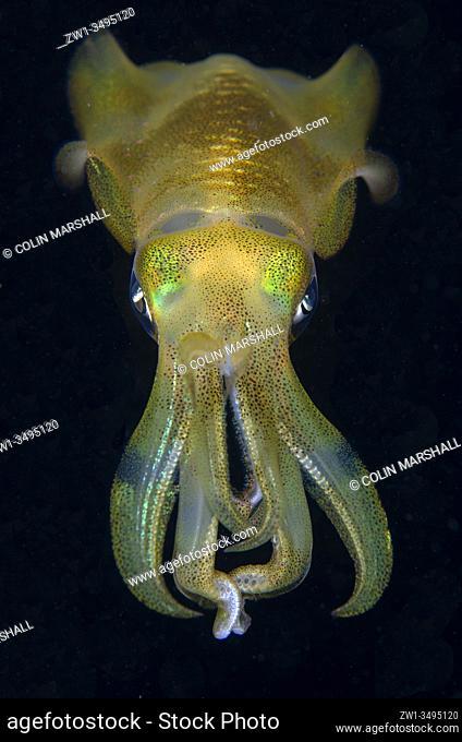 Bigfin Reef Squid (Sepioteuthis lessoniana), Tanjung Uli dive site, night dive, Weda, Halmahera, North Maluku, Indonesia, Halmahera Sea