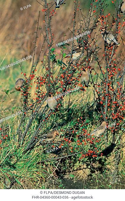 Bohemian Waxwing Bombycilla garrulus group feeding on Cotoneaster berries