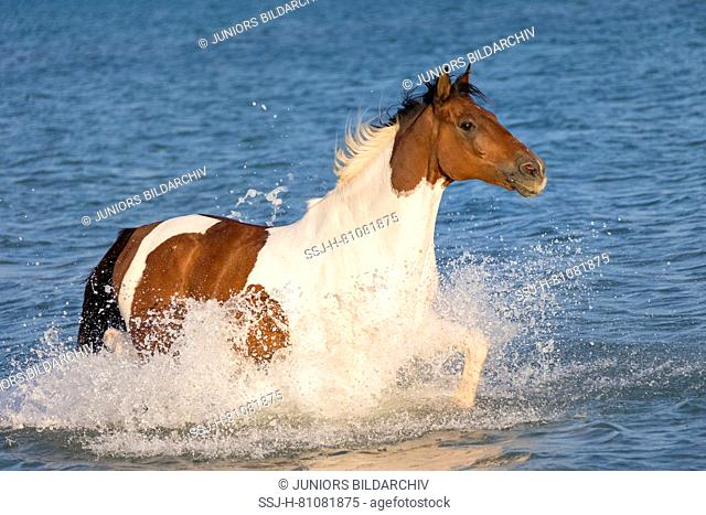 Paint Horse. Skewbald horse trotting in the sea. Egypt