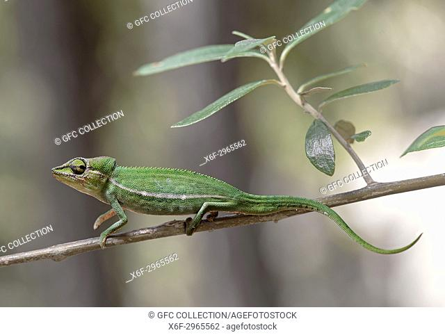Short-nosed chameleon Calumma gastrotaenia, (Chameleonidae), endemic to Madagascar, Anjozorobe Nationalpark, Madagascar