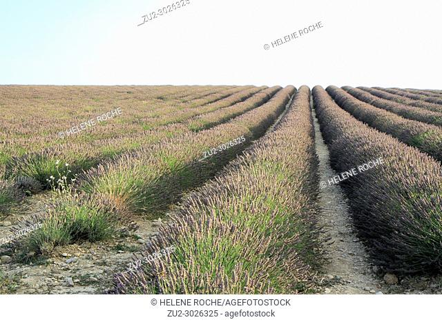 Lavender fields in Valensole, Provence, France