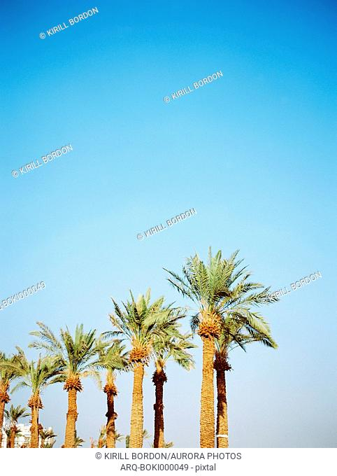 Idyllic landscape with palm trees under clear sky, Eilat, Southern District, Israel