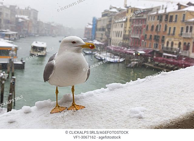 A seagull Rialto Bridge during a snowfall, Venice, Veneto, Italy