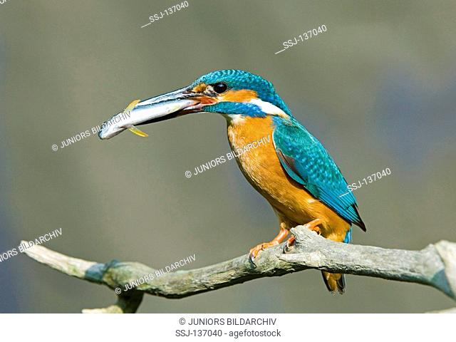 common kingfisher with fish / Alcedo atthis