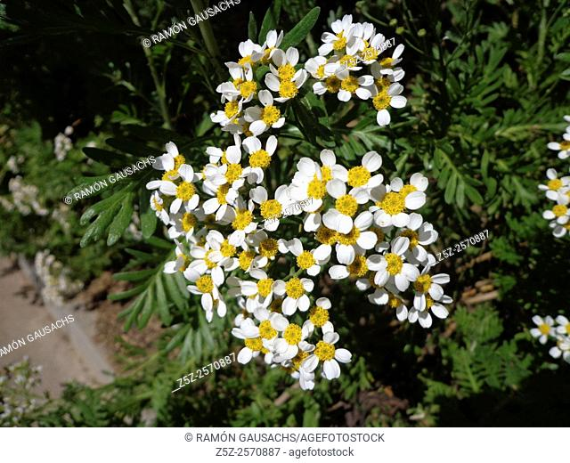 Mayweed (Matricaria sp.). Catalonia, Spain