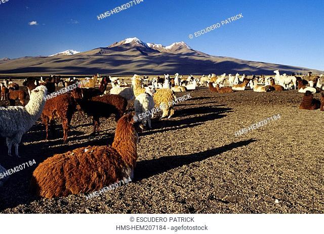 Bolivia, Oruro department, Sajama province, Sajama National Park, herd of llamas and alpacas on the high plateau