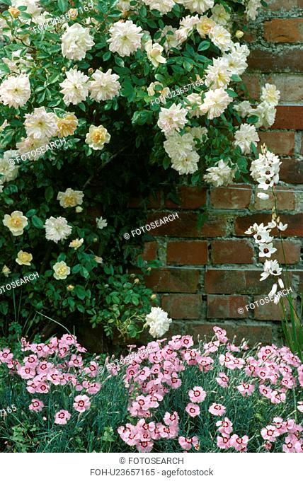 Palest apricot climbing rose underplanted with pinks