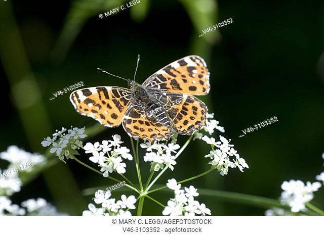 Map Butterfly, Araschnia levana on umbel. large showy butterfly with two broods per season. Spring brood has orange wings with dark marking and summer brood is...