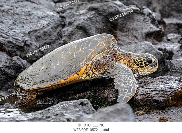 USA, Hawaii, Big Island, Green Sea Turtle on Punalu'u Black Sand Beach
