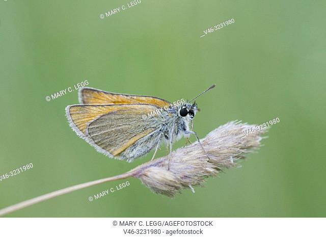 Small Skipper, Thymelicus sylvestris. Small orangish skipper. Antennae tips are black distinguishing it fromm Essex Skipper which has orange antennae tips