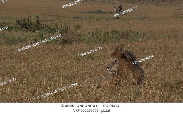 Lion ( Panthera leo) being alert, while lying on Serengeti plains