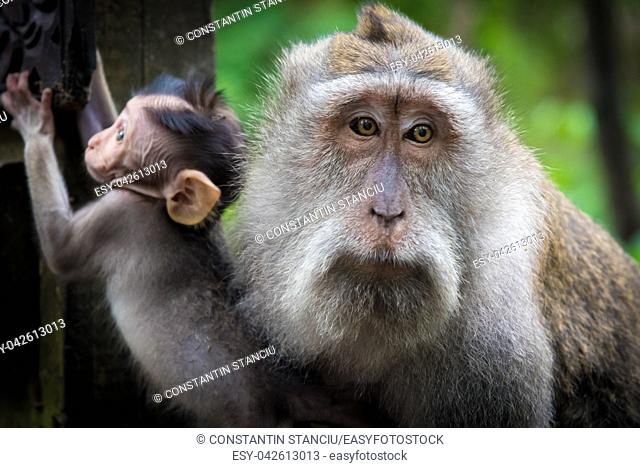 Female macaque monkey with cub