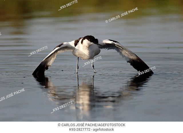 Avoceta Común (Recurvirostra avosetta) en un humedal español