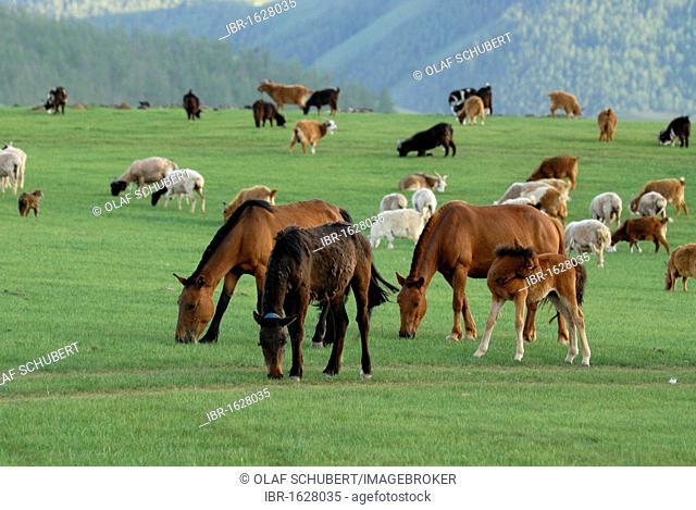 Pasture land with grazing sheep, goats and horses with foals at Orkhon Waterfall, Orkhon Khuerkhree, Kharkhorin, Oevoerkhangai Aimak, Mongolia, Asia