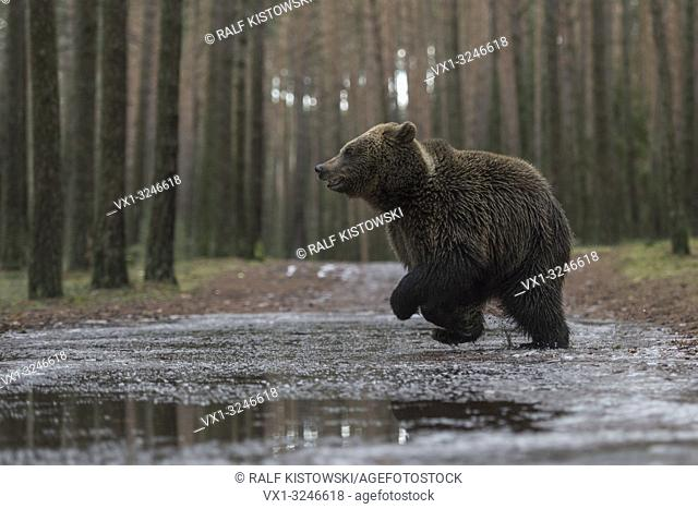Brown Bear / Braunbaer ( Ursus arctos ), young adolescent, running fast through, jumping over a frozen puddle, crossing a forest road, in winter, Europe