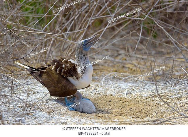 Blue-footed booby (Sula nebouxii) with chick, adult providing shade, dry vegetation, Isla de la Plata, Machalilla National Park, Manabi Province, Ecuador