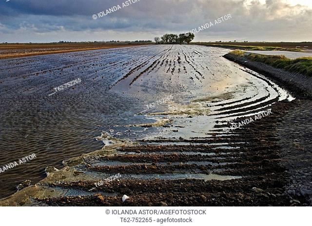 Campos de arroz en el Delta del Ebro inundados antes de la plantación (primavera)
