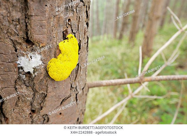 Yellow Slime Mould fungus on dead Corsican Pine tree stump, Wales, UK