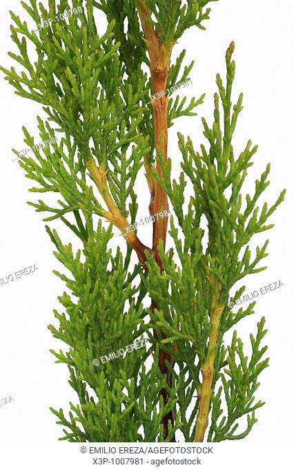Ciprés Cupressus sempervirens