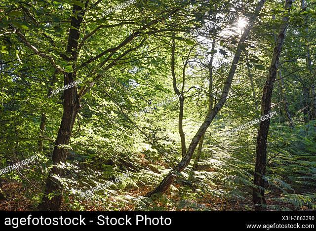Parterre de fougeres, Foret de Rambouillet, Parc naturel regional de la Haute Vallee de Chevreuse, Departement des Yvelines, Region Ile de France, France