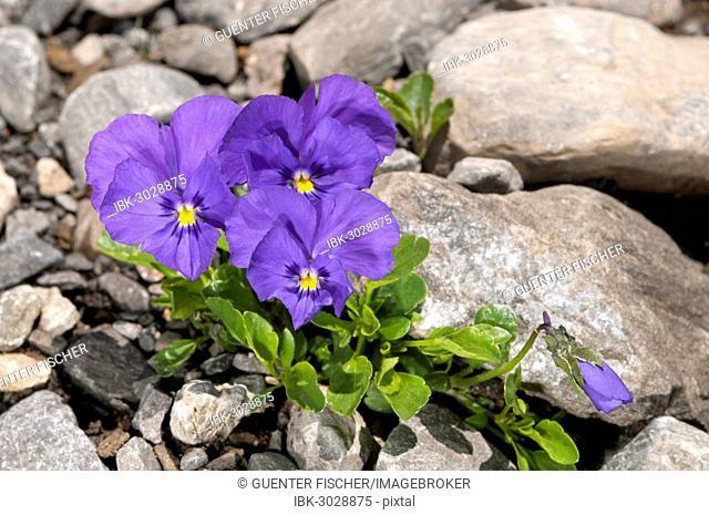 Mont-Cenis violets or pansies (Viola cenisia), Sanetschpass, Switzerland