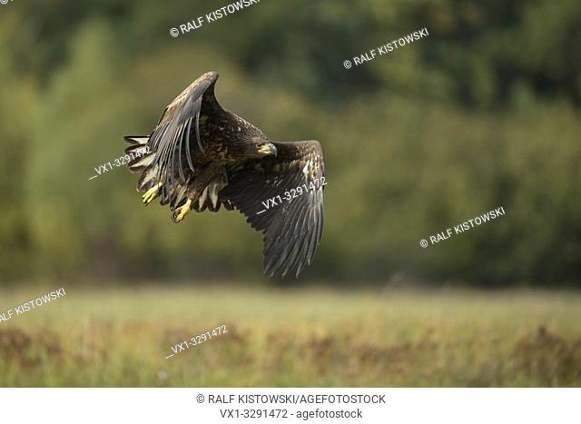 White tailed Eagle / Sea Eagle / Seeadler ( Haliaeetus albicilla ), subadult, taking off, in powerful flight in front of the edge of a forest