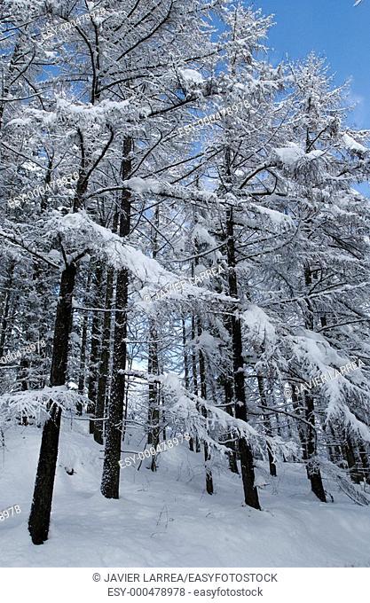 Trees with snow, Sierra de Aitzkorri in winter. Guipúzcoa, Spain