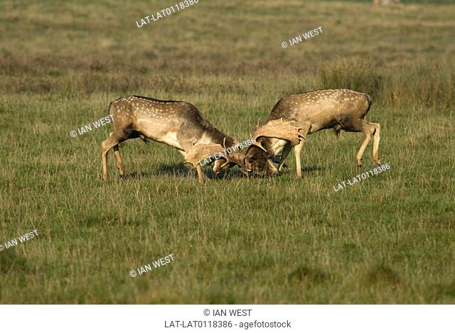 Petworth Park surrounds Petworth House it is inhabited by the largest herd of Fallow deer in England. During the rutting season deer fight with each other over...