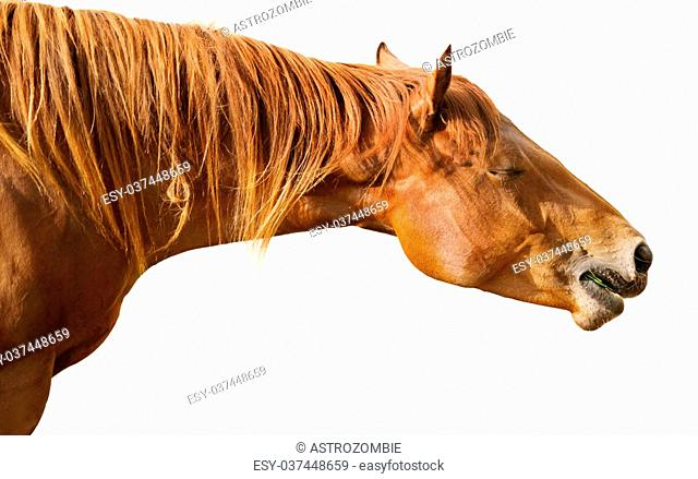 Brown horse enjoying her meal isolated on white