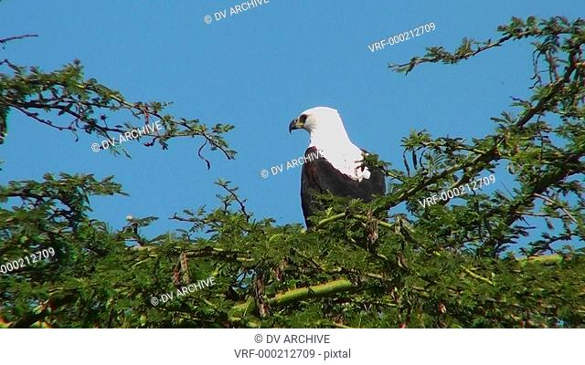 An African fish eagle sits in a thorny bush tree and then flies away