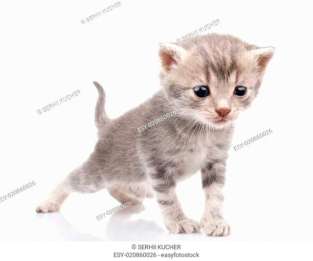 Gray kitten crying