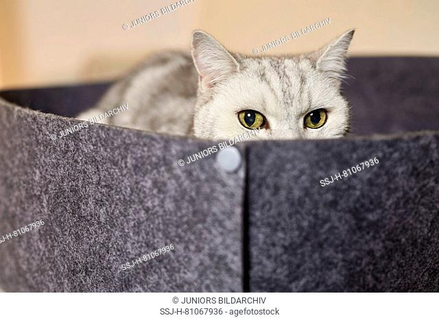 British Shorthair cat. Tabby adult lying pet bed made of felt. Germany