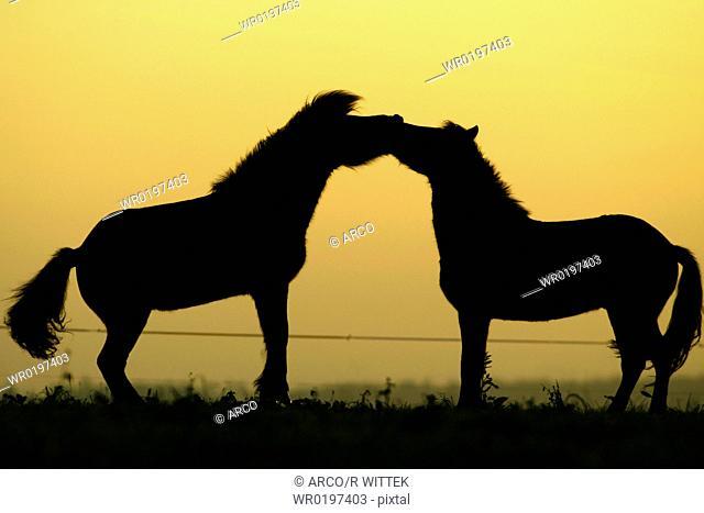 Islandic, Horses, at, twilight