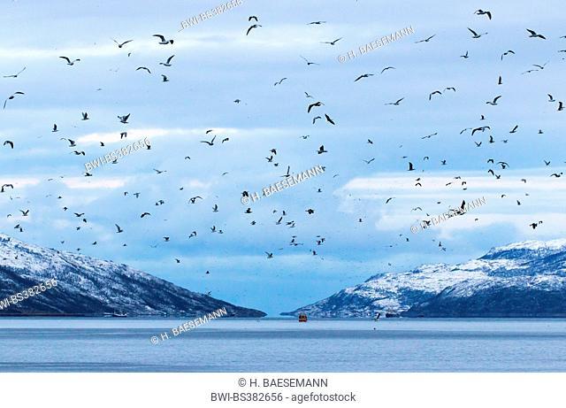 gulls (Larinae), sea gulls swarm above Kaldfjorden, Norway, Troms, Henrikvik